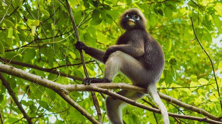 Dusky leaf monkey, Dusky langur, Spectacled langur in forest Stock Photo