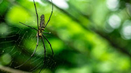 golden orb weaver: female Golden Web Spider Nephila pilipes . Thailand.