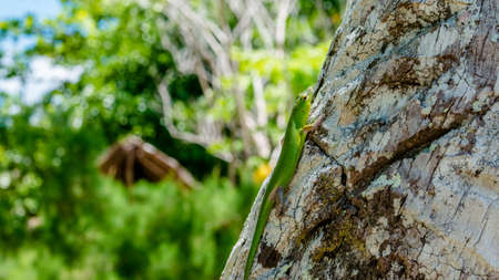 indonesian biodiversity: Emerald Lizard on Palm near Yenanas Homestay, Gam Island, West Papuan, Raja Ampat, Indonesia.