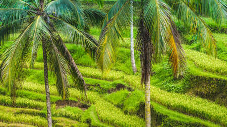 jade plant: Close up of Beautiful Huge Palm Tree in Amazing Tegalalang Rice Terrace fields, Ubud, Bali, Indonesia