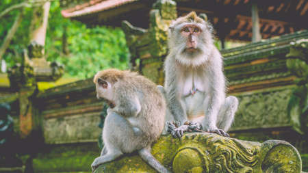 ubud: Sadly looking Long-tailed Macaque Monkey in the Monkey forest in Bali Stock Photo