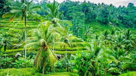 jade plant: Amazing Tegalalang Rice Terrace Fields and some Palm Trees Around, Ubud, Bali, Indonesia Stock Photo
