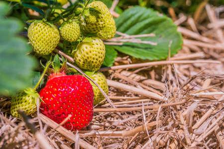 Fresh growing strawberries begining to ripe close up