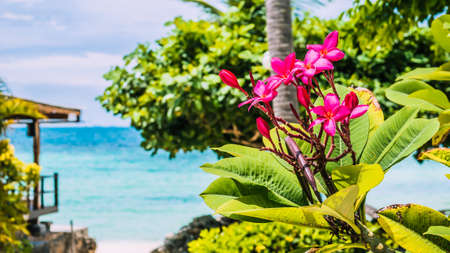 Branch of tropical pink flowers frangipani plumeria with palm tree, beach and ocean in background Stock Photo