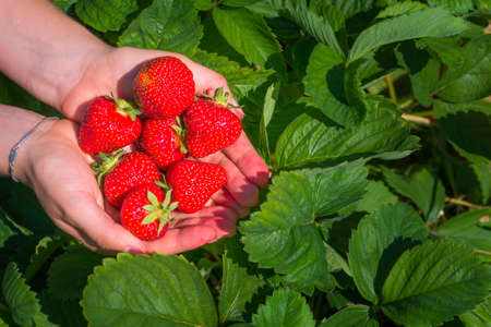 Fresh picked strawberries held over strawberry plants. Top perspective