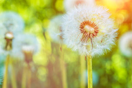 The dandelions blowballs under sun flares are ready to start seeds downwind