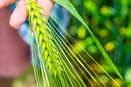 Ear of green wheat in hand, close up