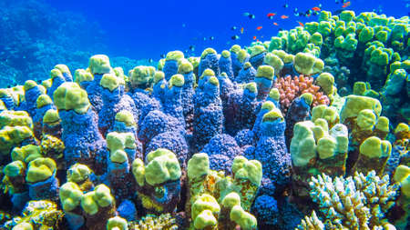 Hard corals and small fish in the Red Sea. Egypt. Stock Photo