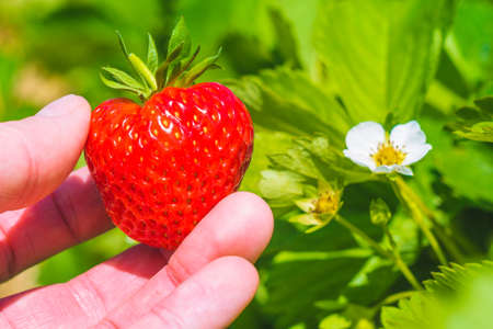 Holding a perfect fresh plucked strawberry over green leaves and further blossom