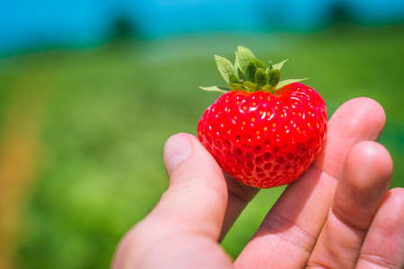 Holding a perfect fresh plucked strawberry over defocused green strawberry field. Blue sky in background.