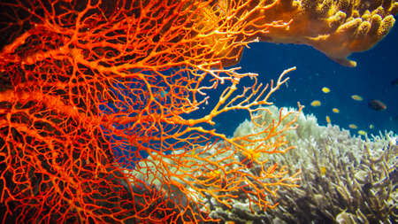 Colorful Red Hard Corals and some Coral Fish around on Kri, Raja Ampat, Indonesia Stock Photo