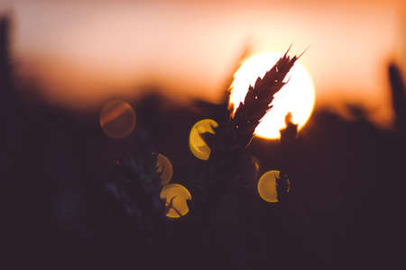 Silhouette of wheat ears in front of sun ball. Sunset light back lit. Beautiful sun flares bokeh Stock Photo - 84578028