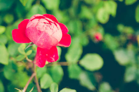 Centifolia red rose with defocused foliage. Natural flower. Soft focus. Copy space. Free place for text. One blossoming red rose. Open rose for card