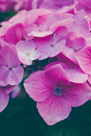 hydrangea macrophylla: Lilac hydrangea flowers arranged together. Close up. Stock Photo