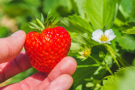 Holding a perfect fresh plucked strawberry over green leaves and further blossom. Stock Photo