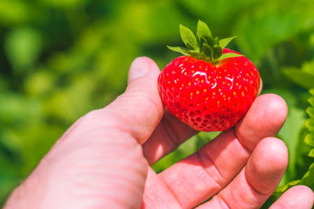 Holding a perfect fresh plucked strawberry over defocused green field.
