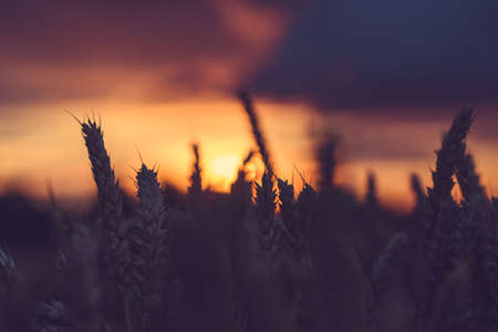 Silhouette of wheat ears in a filed during sunset. Natural light back lit.