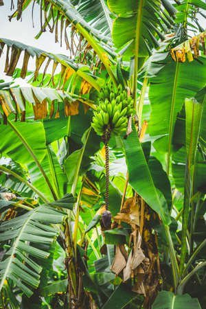 Banana palm tree on the trakking route in Paul valley on Santo Antao, Cape Verde