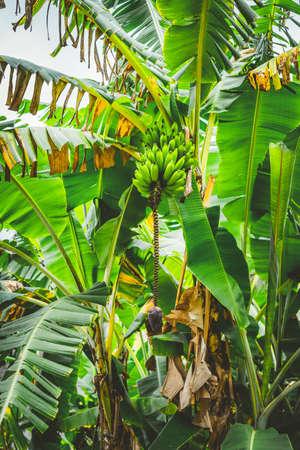 BananenPalme auf dem trakking Weg in Paul-Tal auf Santo Antao, Kap-Verde