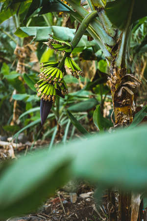 Plantation of banana fruits on the trakking route in a Paul valley on Santo Antao, Cape Verde