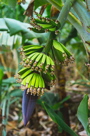 Banana fruits on the way a Paul valley on Santo Antao, Cape Verde
