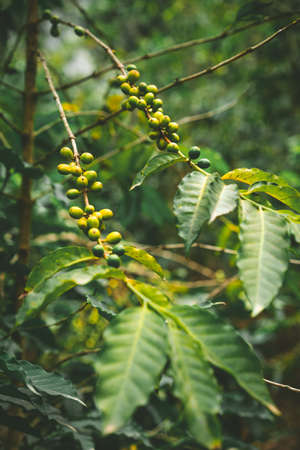 Cultivated local coffe plantage. Branch with green coffee beans and foliage. Santo Antao Island, Cape Verde Stock Photo
