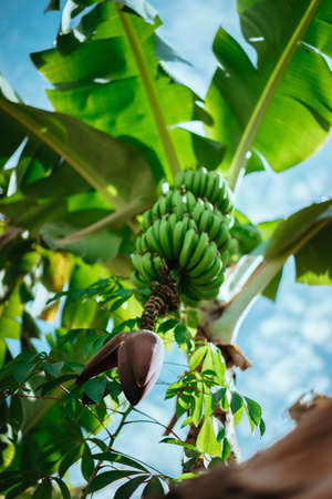 Banana fruits hanging above my head on the trekking route in a Paul valley on Santo Antao, Cape Verde
