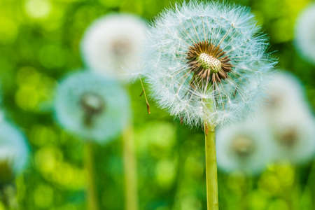 The dandelions blowballs are ready to start seeds downwind