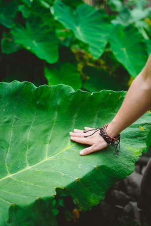Female hand stroking touching huge lotus leaf Stockfoto - 99600008