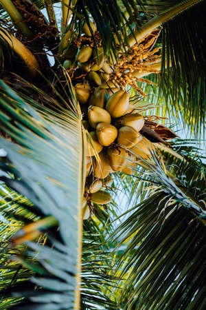 Fresh ripe coconut on the tree, coconut cluster on coconut tree. Palm tree branches Stock Photo