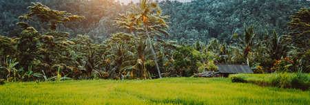 Green Rice terraces and lush jungle rainforest vegetation at sunrise, Bali Indonesia Stok Fotoğraf