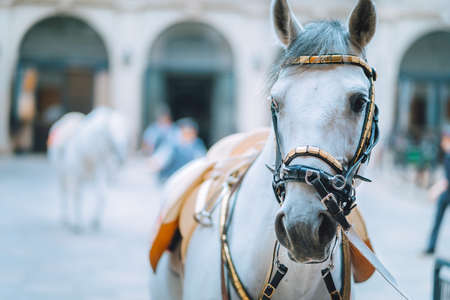Portrait of the world famous Lipizzaner Stallion legendary White Stallions horse before show. Spanish Riding School in Vienna