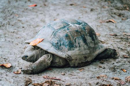 Aldabra Giant Turtle in local park on La Digue Island, Seychelles