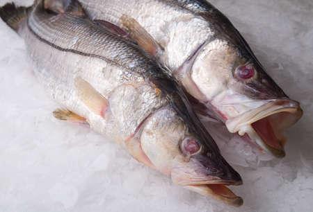 white perch: sea ??bass, bass, white perch