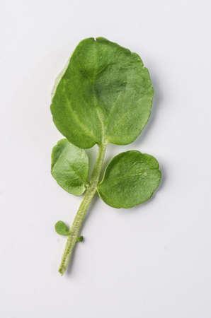 berros: hojas de berros Foto de archivo