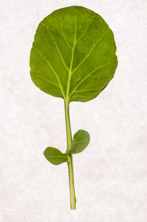 Rucola baby leaf, arugula