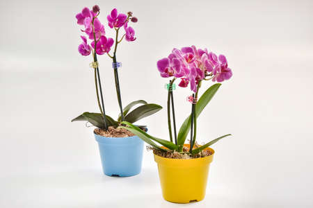 floriculture: Mini Phalaenopsis orchid in flowerpot Stock Photo