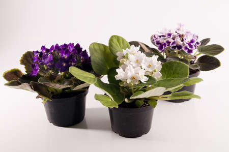 floriculture: violets in flowerpot Stock Photo