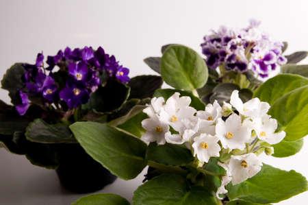 violets: violets in flowerpot Stock Photo