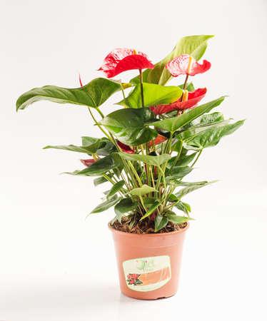 flowerpot: Anthurium in flowerpot