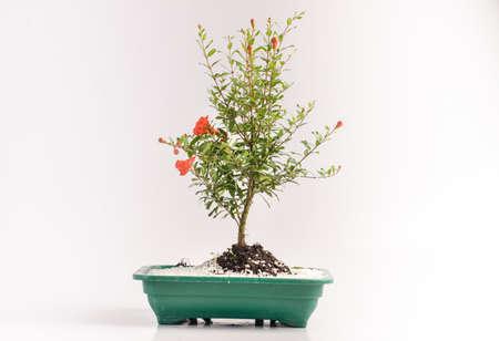 flowerpots: Bonsai in ornamental flowerpots Stock Photo