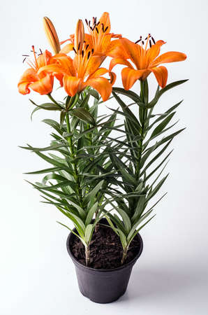 floriculture: Orange Lily in flowerpot