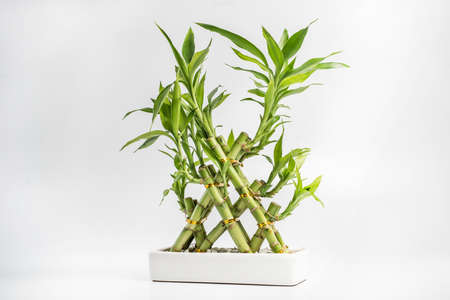 floriculture: Lucky bamboo in flowerpot Stock Photo