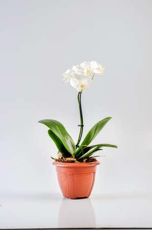 flowerpot: Mini orchid in flowerpot