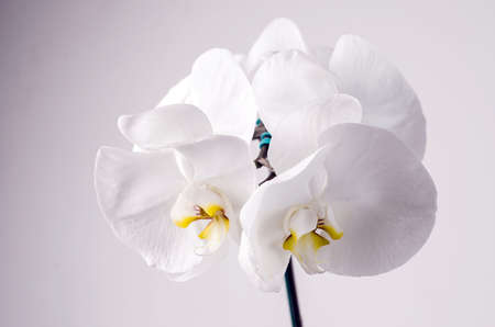 floriculture: White Orchid in flowerpot