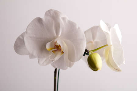 floriculture: White orchid in flowerpot Stock Photo