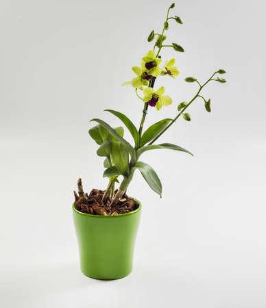 ceramica: Denphalaen orchid in ceramic flowerpot Stock Photo