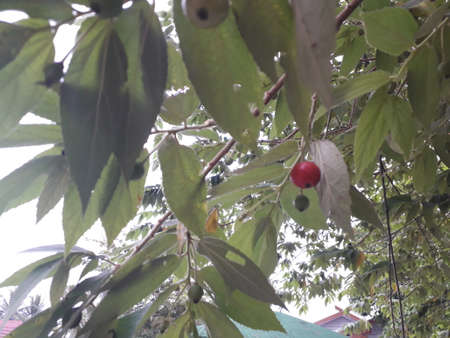 Indonesian original fruit called cherries that tastes sweet Stockfoto