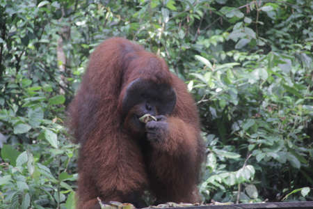 a big orangutan ape in zoo and protected forest