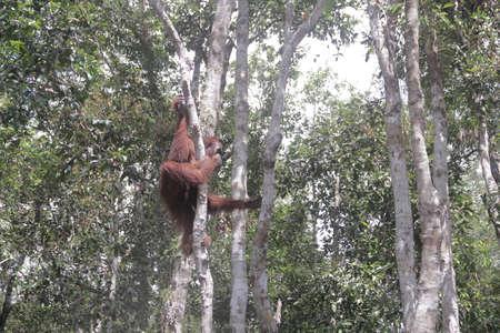 a big orangutan ape standing in a tree